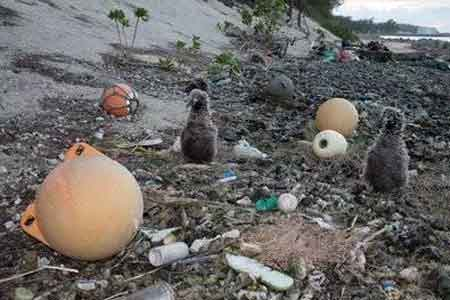 Photo: USFWS - albatross chicks in plastic debris